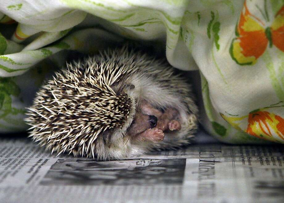 A hedgehog sleeps at the SPCA in Largo, Fla. Some 20 reports of illness have been linked to the pets. Photo: Jim Damaske, Associated Press