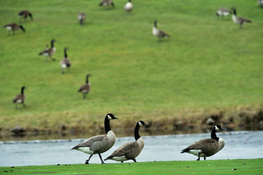 Canada geese congregate around a pond on the fairway to the eighth hole at Richter Park Golf Course in Danbury on Thursday, Jan. 31, 2013. Photo: Jason Rearick / The News-Times