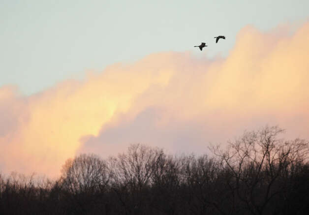 Canada geese fly over Richter Park Golf Course in Danbury on Thursday, Jan. 31, 2013. Photo: Jason Rearick / The News-Times