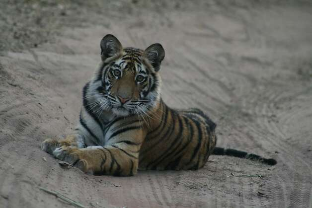 Corbett and Bandhavgarh national parks are renowned for sightings of India's highly endangered tigers. Photo: Terra Incognita Ecotours