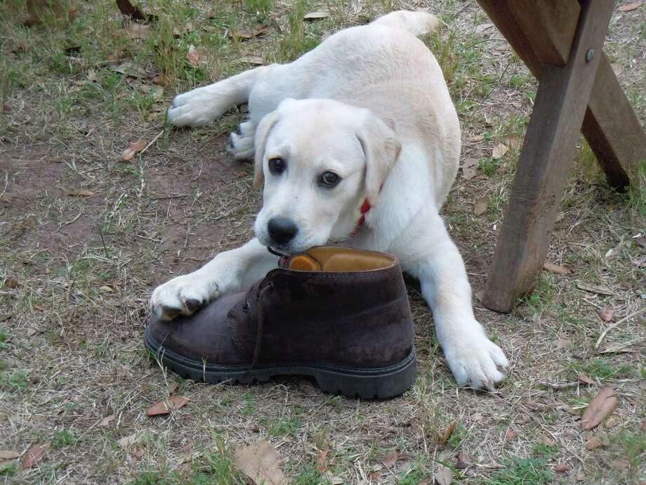 Rosie the Labrador retriever at 3 months with Leon Hale's boot. Photo: Gabrielle Hale