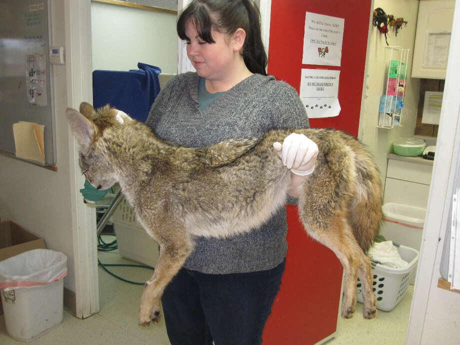 Ashley Kinney treats #57, the Mission District Coyote, at the Wildlife Center of Silicon Valley.