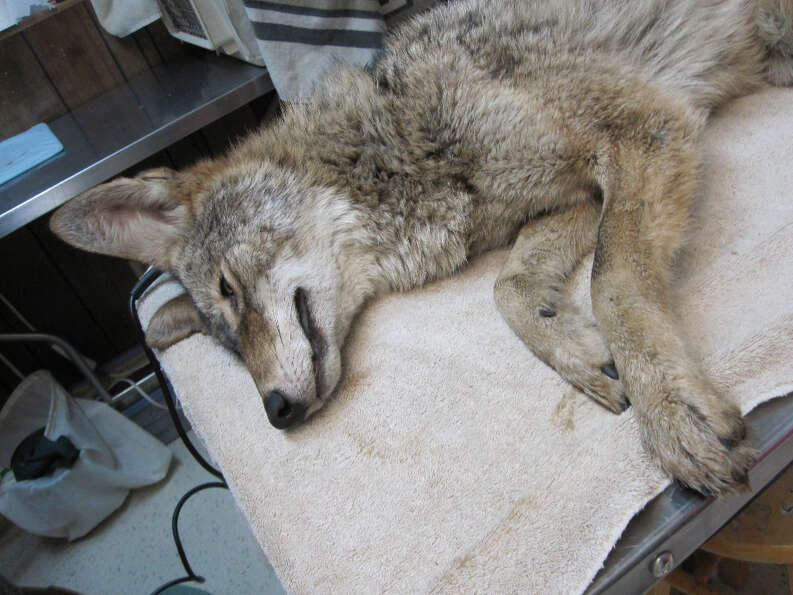 Number 57, the Mission District coyote, rests at the Wildlife Center of Silicon Valley.
