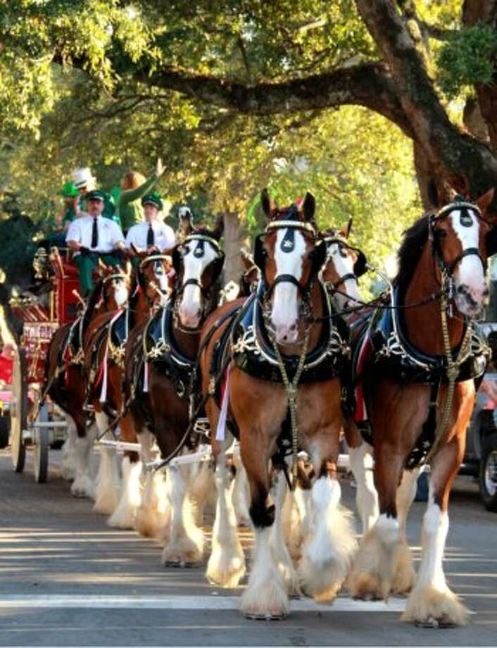 The Budweiser Clydesdales are in Galveston for Mardi Gras and and will lead the George P. Mitchell kickoff parade Friday and and Krewe of Gambrinus Parade Saturday.