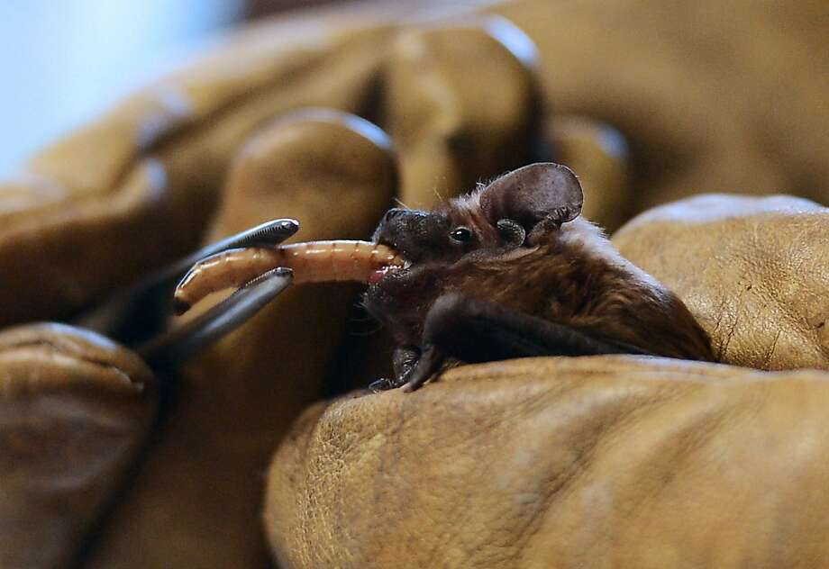 There must be 50 ways to leave your larva:No. 37 - feed it to a bat. (Chiroptera bat and breakfast at a rescue center in Rosenwiller, France.) Photo: Patrick Hertzog, AFP/Getty Images