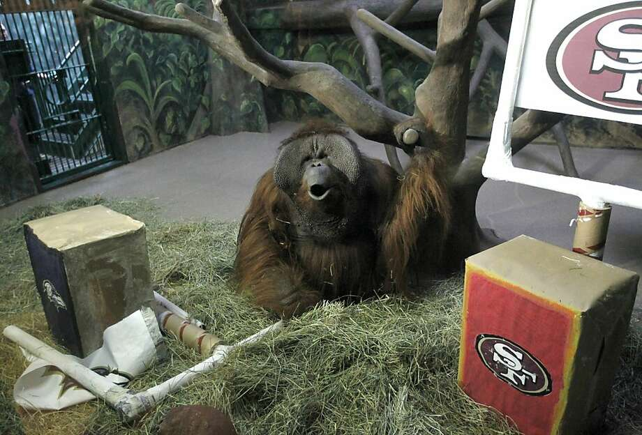 The ape has spoken - it's going to be Ravens: Eli howls after destroying the Baltimore Ravens logo in two seconds at the Hogle Zoo in Salt Lake City. Good news for 49ers, right? Wrong. Supposedly the banner that is smashed indicates the team that will win the Super Bowl. The zoo's primates have correctly picked the Super Bowl winner in each of the last five years. Photo: Al Hartmann, Associated Press