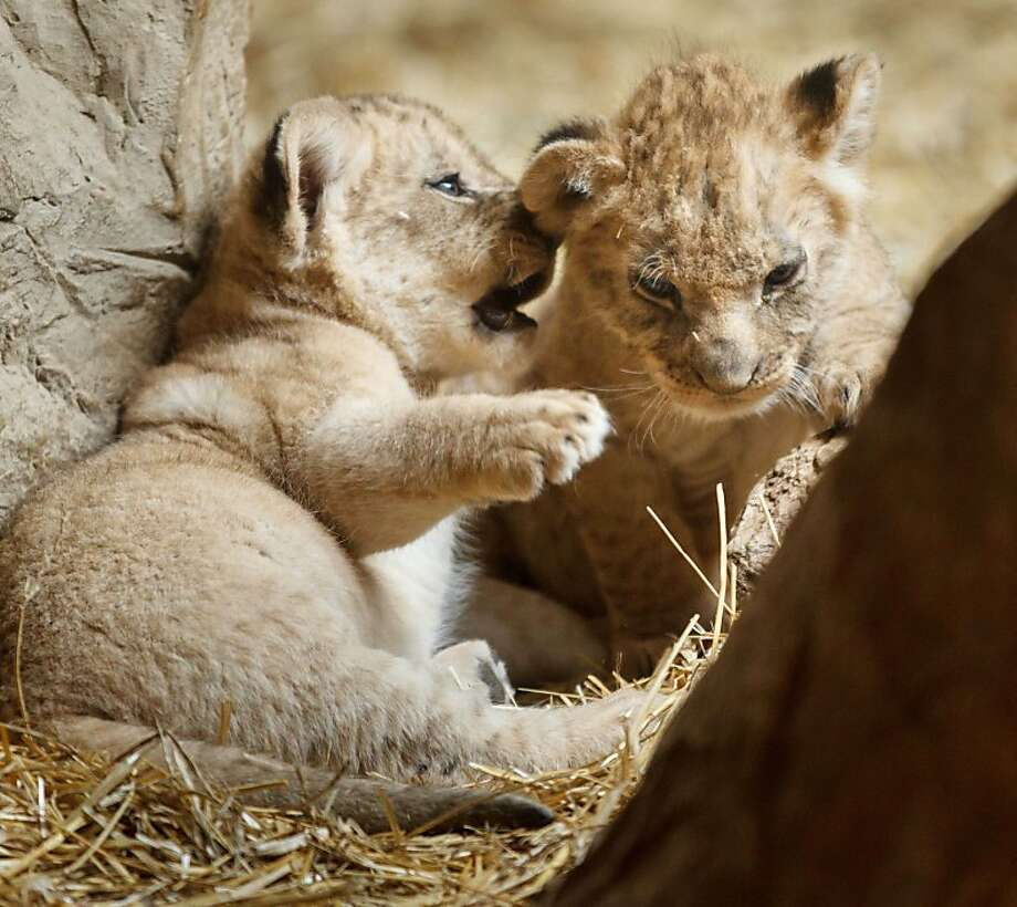 Listen up. I'm only going to tell you this once …A scheme is hatched at the Henry Doorly Zoo in Omaha, Neb. Photo: Kent Sievers, Associated Press