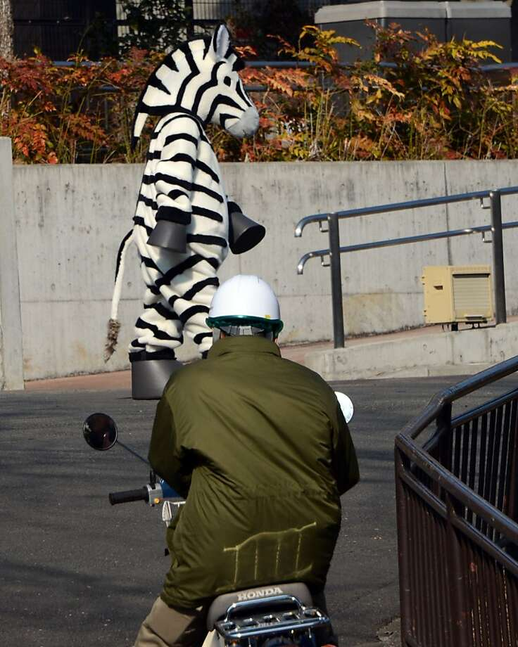 "Darn prison stripes are a dead giveaway: A zoo staffer on a motorbike chases a ""runaway zebra"" during a drill simulating an animal escape at Tama Zoo in suburban Tokyo. Photo: Toshifumi Kitamura, AFP/Getty Images"