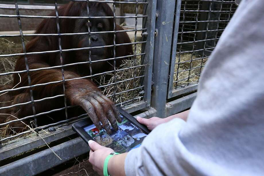 Animal keeper Becky Malinsky holds an iPad for Iris, who is playing with an animal app that produces the noise of the animal when its photo is touched. Orangutans at the National Zoo in Washington, D.C., have been using iPads for six months as part of the Apps for Apes program to raise awareness of orangutan endangerment. Photo: Courtesy Of National Zoo, McClatchy-Tribune News Service