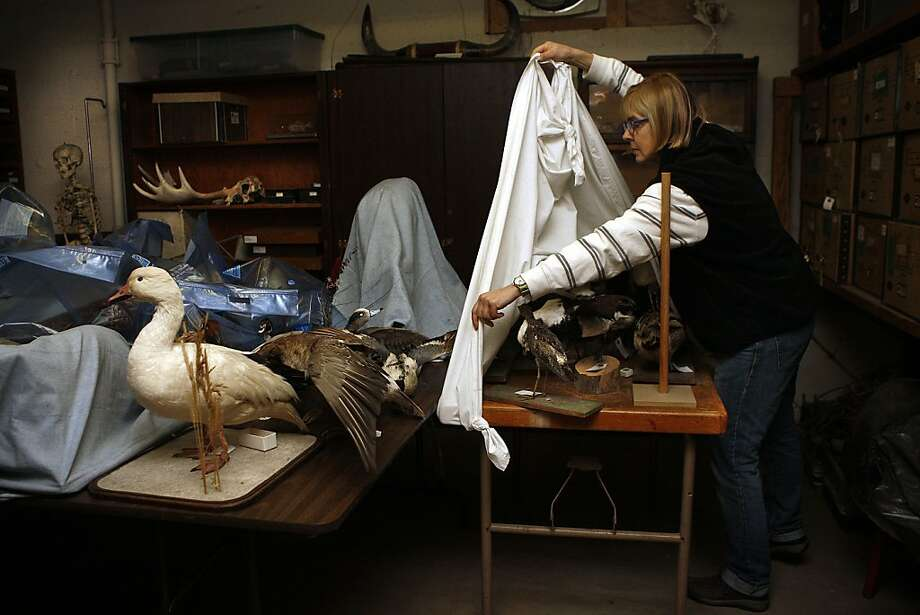 Animal Exhibit Coordinator Nancy Ellis shows the collection of skulls and stuffed birds in the basement of the Randall Museum in S.F. The Board of Supervisors is expected to OK a state grant to renovate the space. Photo: Liz Hafalia, The Chronicle