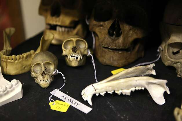 Animal skulls and other fossils hidden from public view in the basement will be put on display with the creation of new exhibition space in the redesigned museum. Photo: Liz Hafalia, The Chronicle