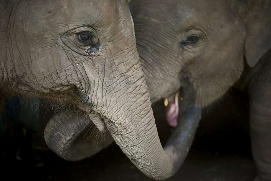 Three-year-old elephants play in an image captured by Carol Stevenson during a visit to the Golden Triangle Asian Elephant Foundation in Chiang Rai, Thailand. Photo: Carol Stevenson