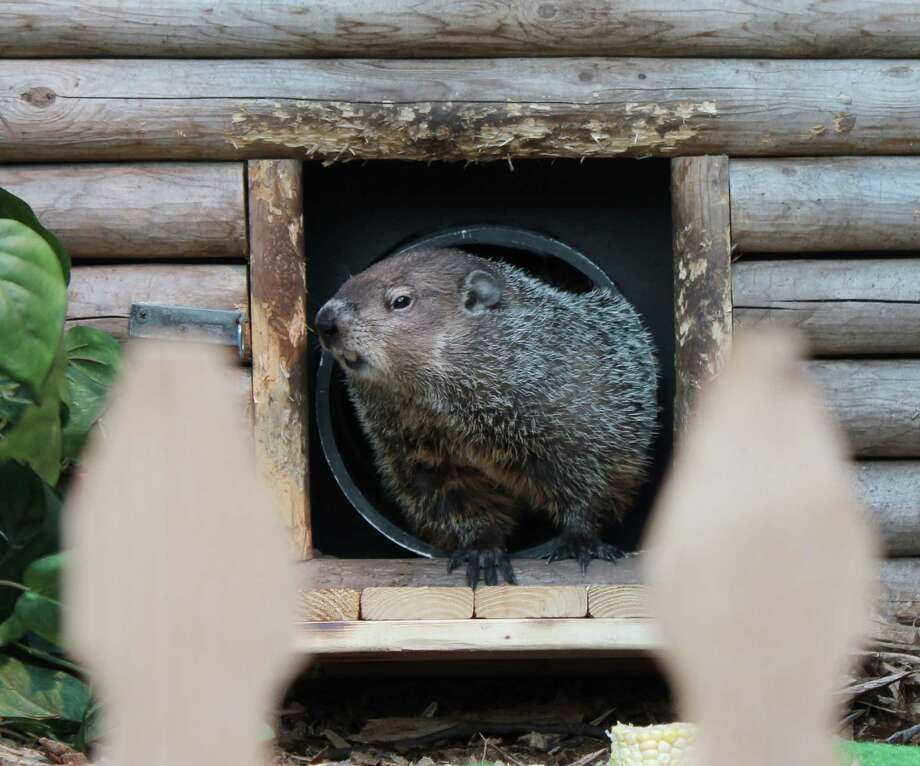 "In this Feb. 2, 2013 photo provided by the Staten Island Zoo, resident groundhog ""Staten Island Chuck"" peeks out of his cottage before emerging at the Staten Island Zoo in New York. Chuck wasn't frightened back into his home by shadow which traditionally means that spring is on its way. (AP Photo/Staten Island Zoo, Katherine Zarr) Photo: Katherine Zarr"