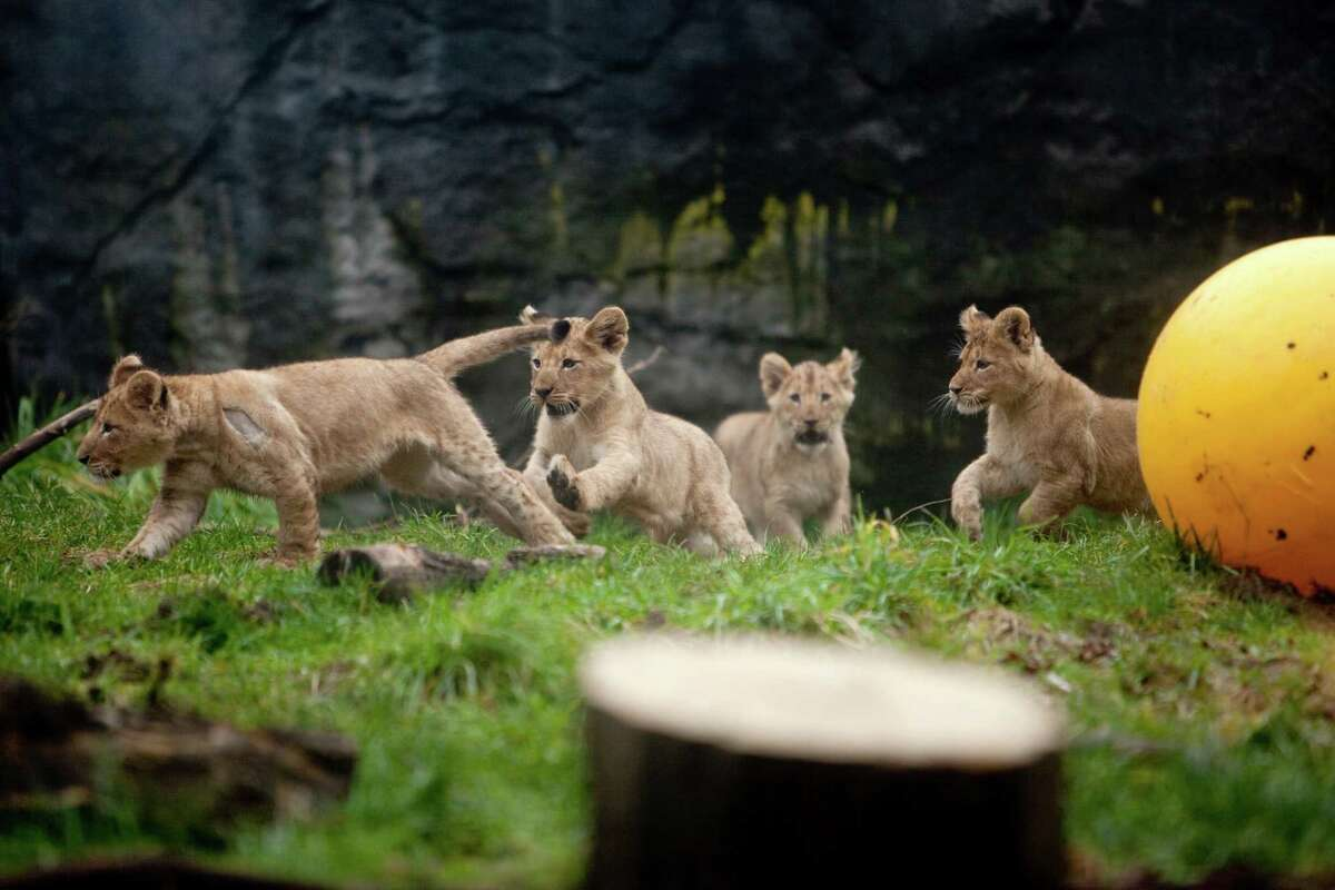 The chase is on: The as yet unnamed cubs learn to run in the enclosure as they get to leave their maternity den.