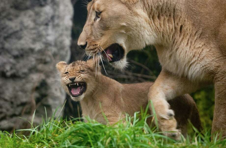 """Grrrowl!"" A cub imitates mom's most ferocious roar. Photo: JOSHUA TRUJILLO / SEATTLEPI.COM"