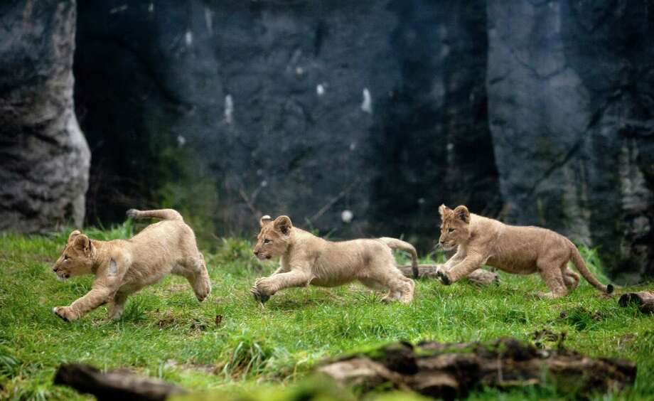 Leaps and bounds: Three of the four cubs race across the enclosure. Photo: JOSHUA TRUJILLO / SEATTLEPI.COM
