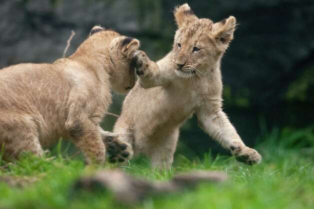 """Whap!"" A cub swats his sibling in the face. Photo: JOSHUA TRUJILLO / SEATTLEPI.COM"