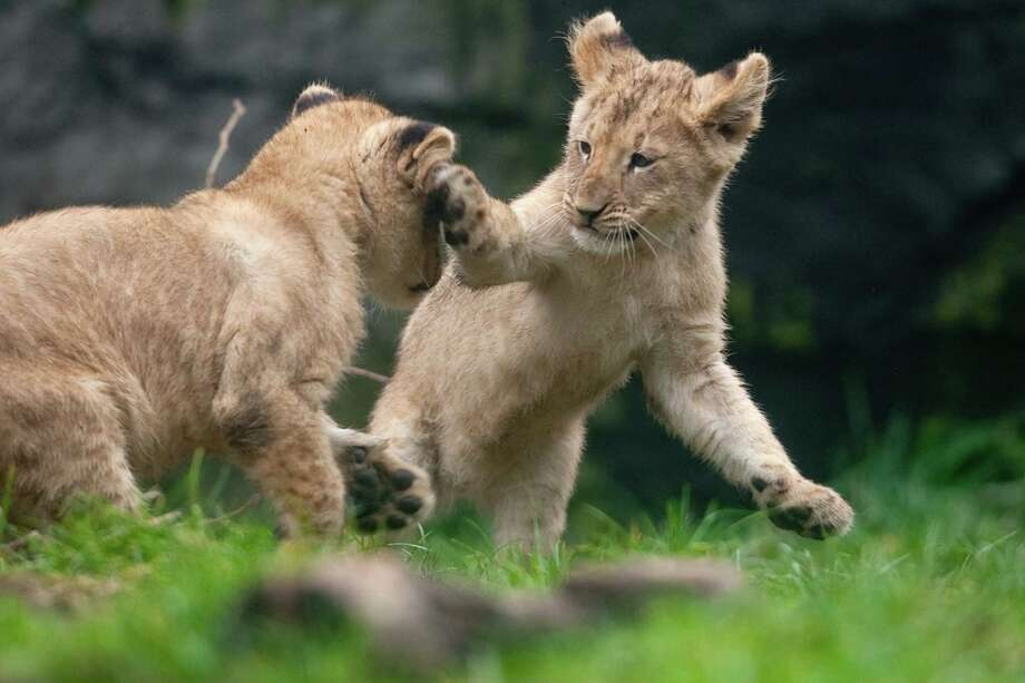 """Whap!"" A cub swats his sibling in the face. Photo: JOSHUA TRUJILLO / SEATTLEPI.COM"
