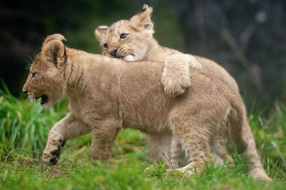 """Can I have a ride?"" One of the cubs hops on its sibling's back, similar to the way lions take down prey in the wild. Photo: JOSHUA TRUJILLO / SEATTLEPI.COM"