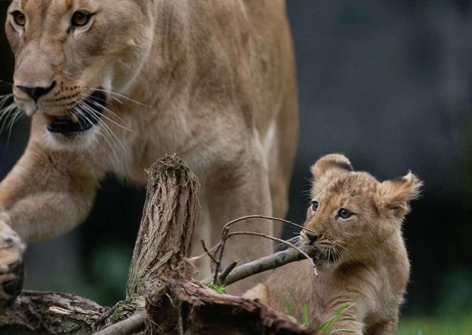"""This doesn't taste very good."" A cub gnaws on a stick. Photo: JOSHUA TRUJILLO / SEATTLEPI.COM"