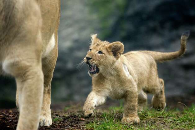 """Hey, mom!"" A cub tries to get mom's attention. Photo: JOSHUA TRUJILLO / SEATTLEPI.COM"
