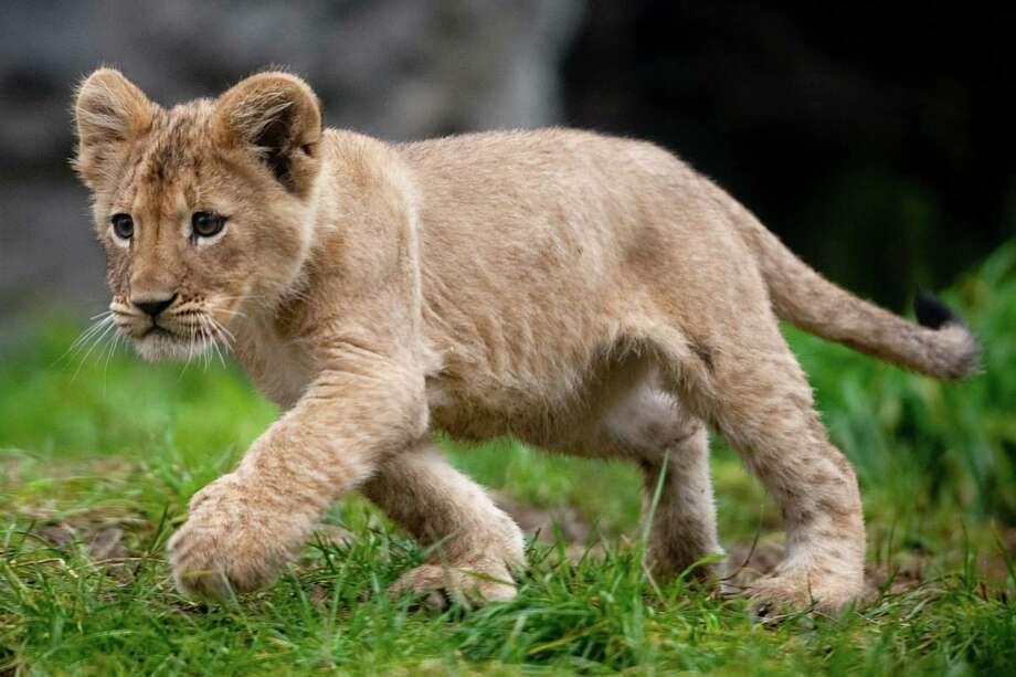 Cute: A cub struts in the exhibit. Photo: JOSHUA TRUJILLO / SEATTLEPI.COM