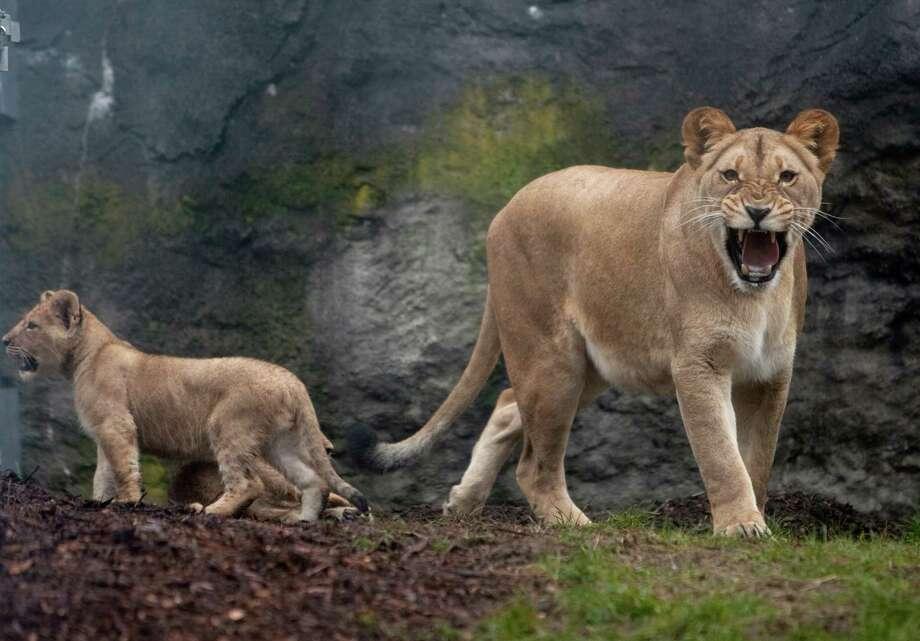 Growl!Roar! Photo: JOSHUA TRUJILLO / SEATTLEPI.COM