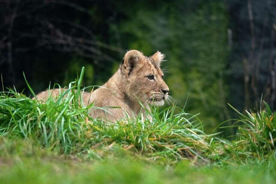 """I am ready to hunt. Where are all the gazelle?"" Photo: JOSHUA TRUJILLO / SEATTLEPI.COM"