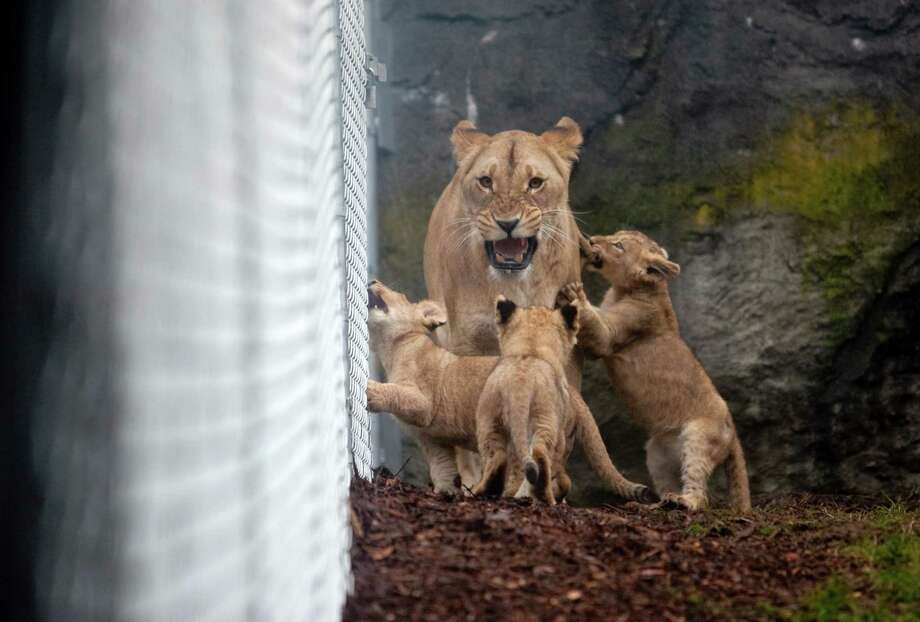 """Give me some room,"" roars mom. Photo: JOSHUA TRUJILLO / SEATTLEPI.COM"