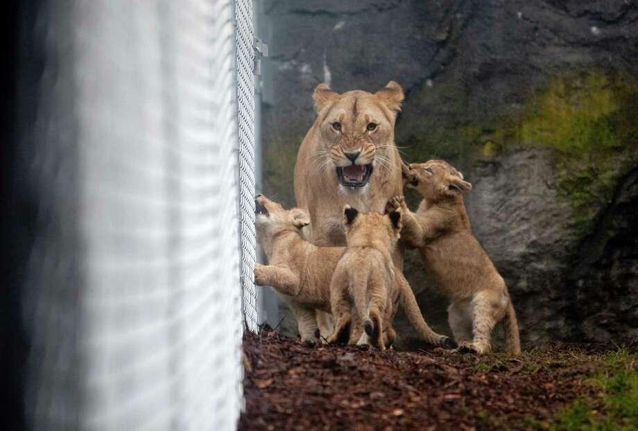 """Give me some room,"" roars mom. Photo: JOSHUA TRUJILLO / SEATTLEPI.COM"