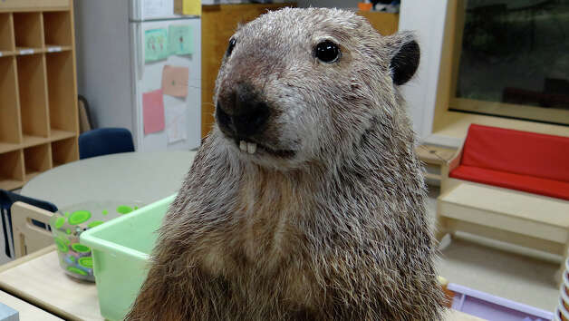 Fudge, the stuffed groundhog, was nonetheless the center of attention Saturday at the Earthplace celebration of Groundhog Day. WESTPORT NEWS, CT 2/2/13 Photo: Mike Lauterborn / Westport News contributed