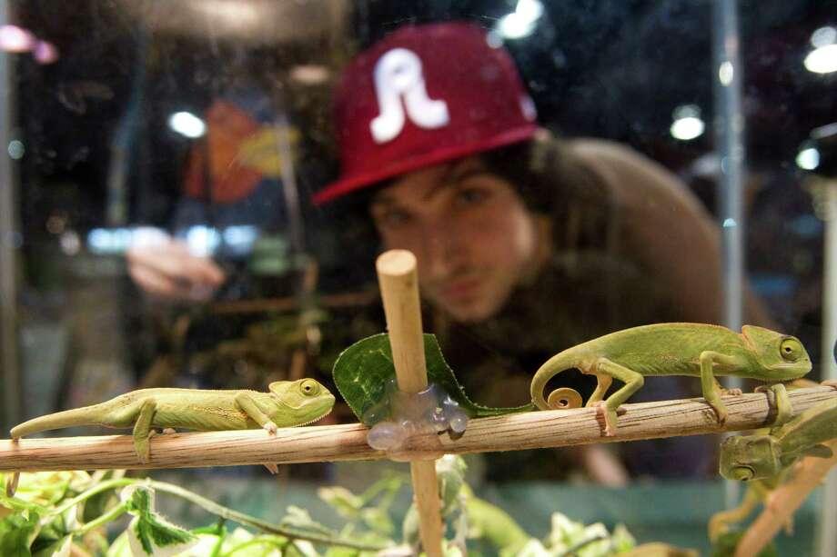 Keenan Baker looks at chameleons at Repticon reptile and exotic animal convention at the Pasadena Convention Center and Fairground Saturday, Feb. 2, 2013, in Pasadena. Photo: Brett Coomer, Houston Chronicle / © 2013 Houston Chronicle