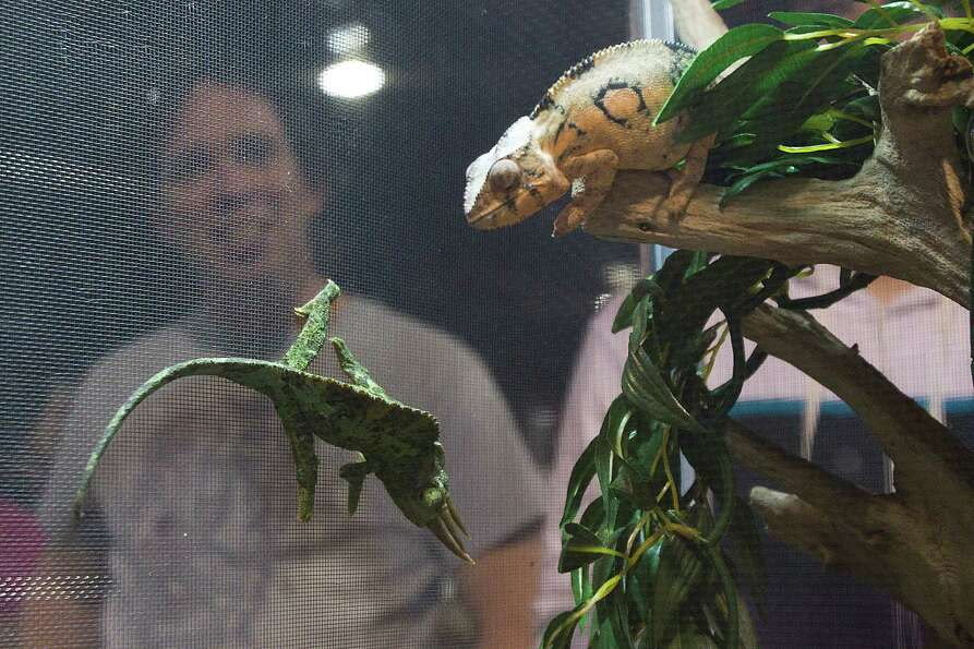 Chameleons are on display for sale at Repticon reptile and exotic animal convention at the Pasadena