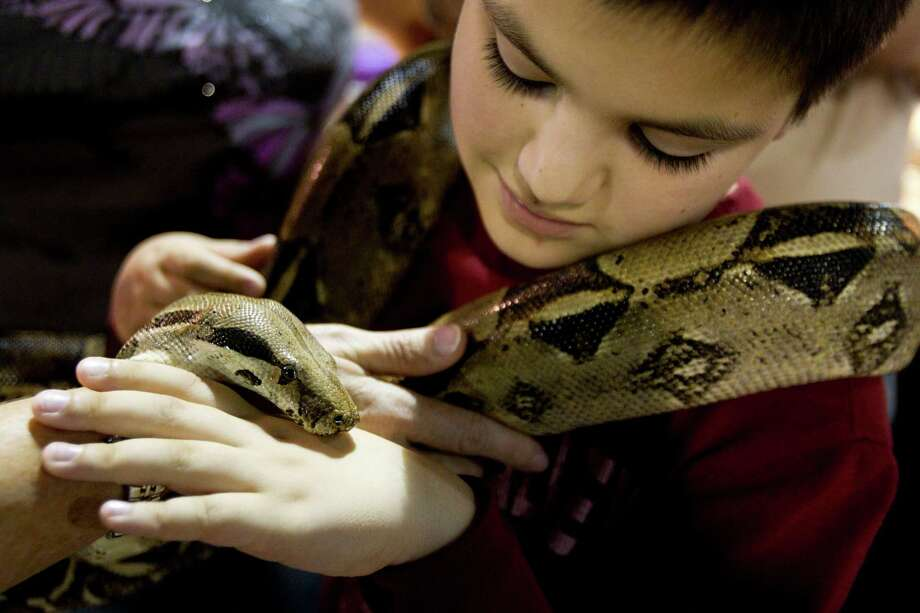 Caleb Litton holds a red tail boa constrictor during Repticon reptile and exotic animal convention at the Pasadena Convention Center and Fairground Saturday, Feb. 2, 2013, in Pasadena. Photo: Brett Coomer, Houston Chronicle / © 2013 Houston Chronicle