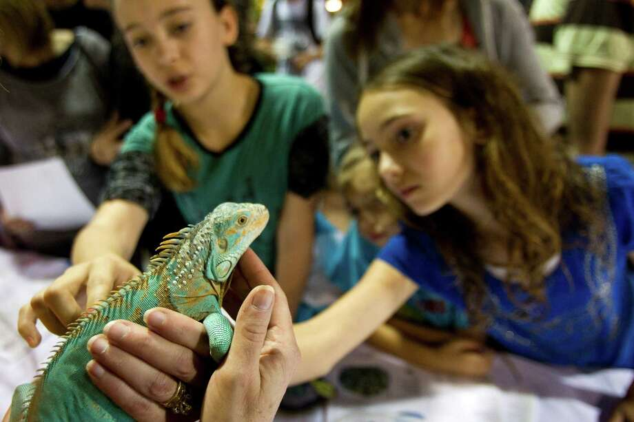 Trinity Thomas, 13, left, and Treya Thomas, 10, pet an iguana during Repticon reptile and exotic animal convention at the Pasadena Convention Center and Fairground Saturday, Feb. 2, 2013, in Pasadena. Photo: Brett Coomer, Houston Chronicle / © 2013 Houston Chronicle