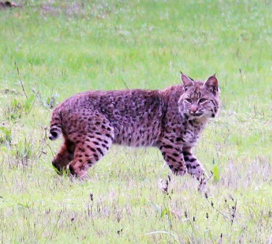 Bobcat in front yard for Bruce Manson and his daughter in Glen Ellen
