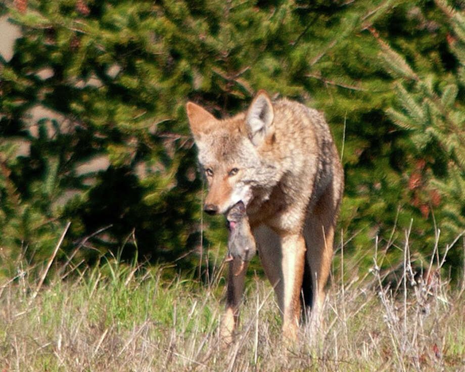 In the hills above Woodacre in Marin, coyote walks boldly with its prey