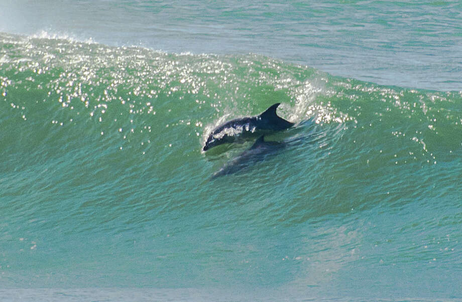 Off San Francisco's Ocean Beach, dolphin surfed mid-crest in a big wave