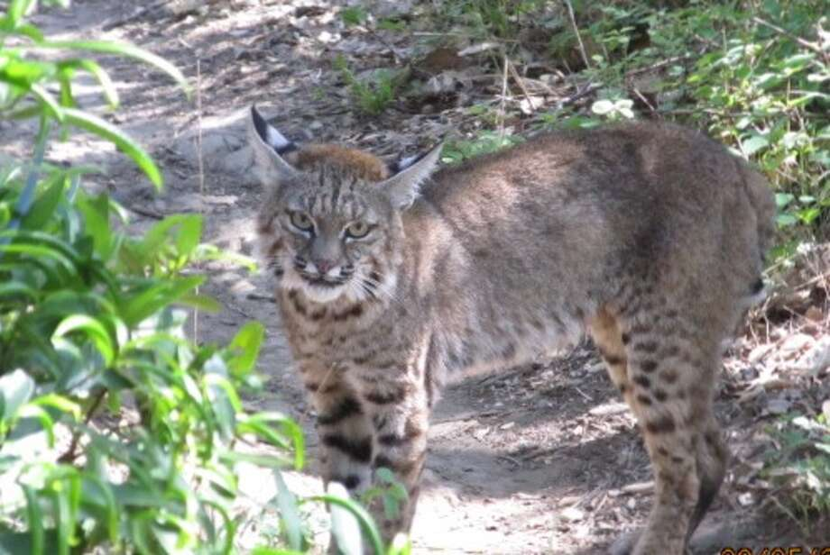 Bobcat on trail at Las Trampas Regional Wilderness near San Ramon
