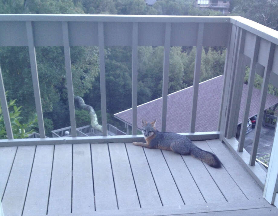 A gray fox sat on the deck of this house in Sausalito for nearly a half hour