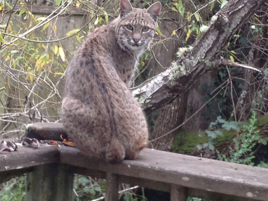 Bobcat sitting on porch railing of Mill Valley home