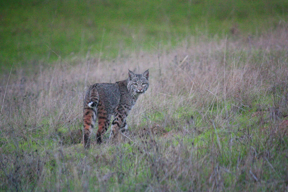 Bobcat sighted on hill directly across from front door of photographer