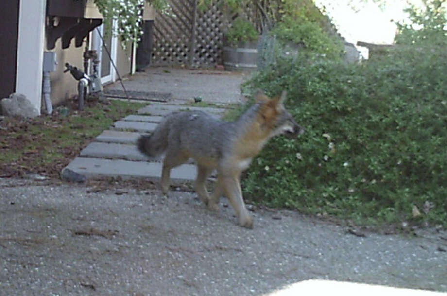 Wildlife cam captured this shot of gray fox strolling through backyard in San Mateo Highlands