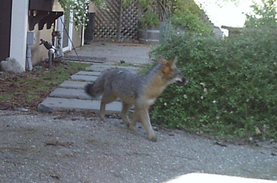Wildlife cam captured this shot of gray fox strolling through backyard in San Mateo Highlands