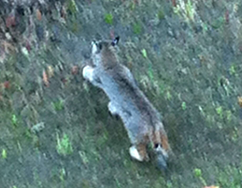 Bobcat directly below deck of San Anselmo home