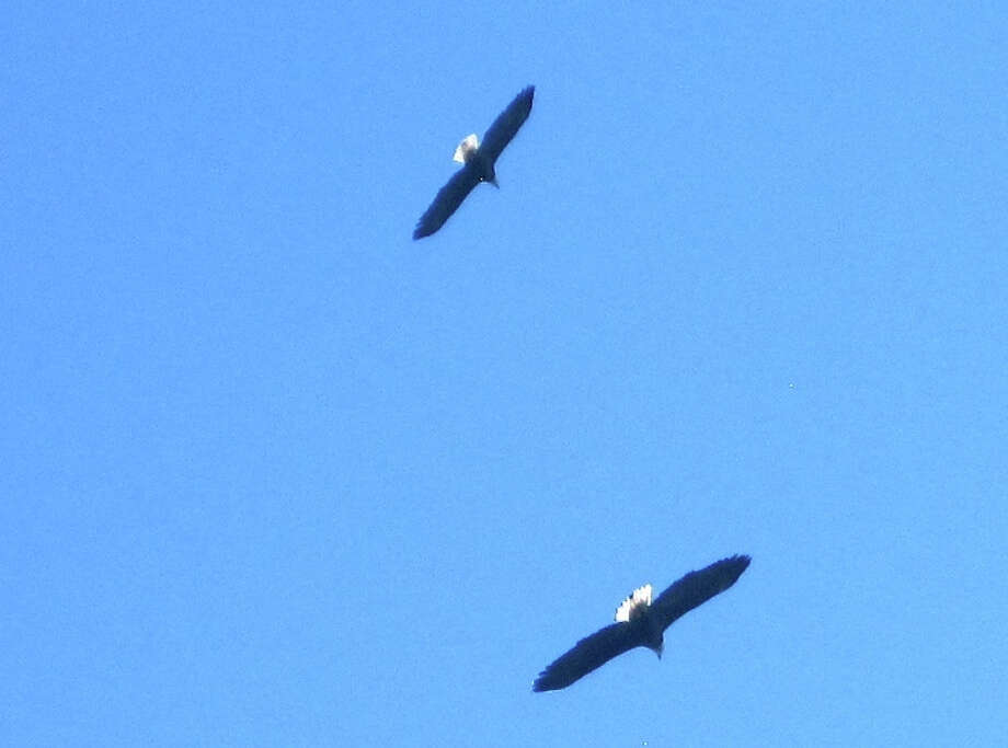 A pair of bald eagles circled directly over Bob Hanelt's house in Oakland hills