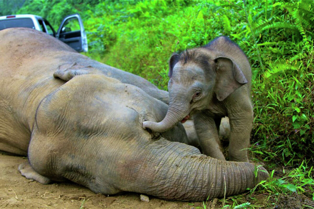 In this Wednesday, Jan. 23, 2013 photo released by Sabah Wildlife Department, a 3-month-old elephant calf tries to awake its dead mother at the Gunung Rara Forest Reserve in Sabah, Malaysia. Ten endangered Borneo pygmy elephants have been found dead in the Malaysian forest under mysterious circumstances, and wildlife authorities suspect that they were poisoned. (AP Photo/Sabah Wildlife Department)