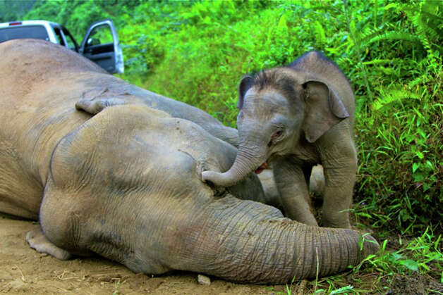 In this Wednesday, Jan. 23, 2013 photo released by Sabah Wildlife Department, a 3-month-old elephant calf tries to awake its dead mother at the Gunung Rara Forest Reserve in Sabah, Malaysia. Ten endangered Borneo pygmy elephants have been found dead in the Malaysian forest under mysterious circumstances, and wildlife authorities suspect that they were poisoned. (AP Photo/Sabah Wildlife Department) Photo: AP