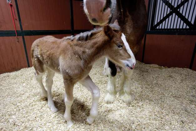 A young Clydesdale foal walks around the feet of her mother at Warm Springs Ranch Wednesday, Jan. 30, 2013, in Boonville, Mo. The foal, born Jan, 16, 2013 at the ranch, is the star of a Budweiser commercial set to air during Super Bowl XLVII on Sunday. (AP Photo/Jeff Roberson) Photo: Jeff Roberson, Associated Press / AP