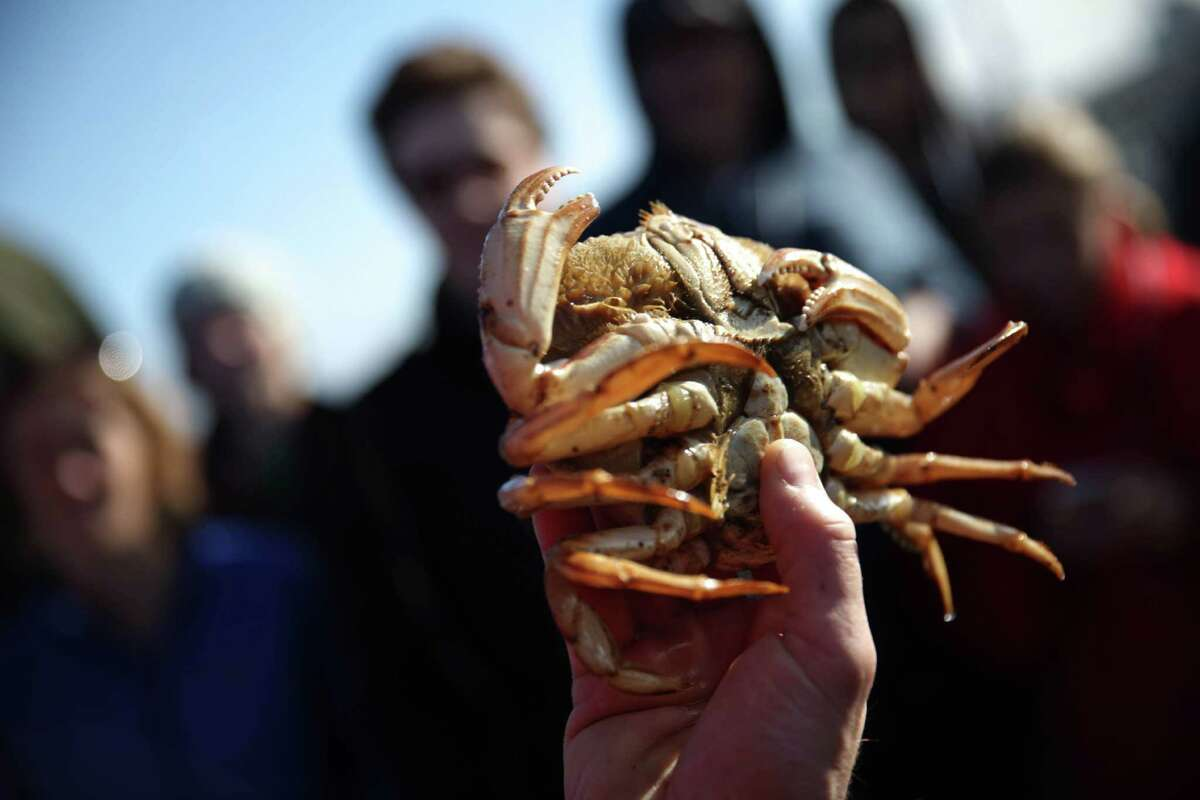 Kirk Lombard holds a Dungeness crab during a sea foraging class along the S.F. shoreline.